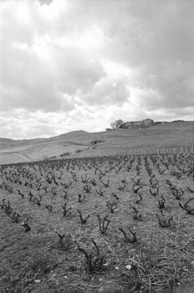 Vines_Beaujolais_2000